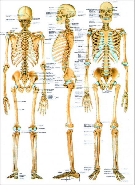 Lehrtafel Das menschliche Skelett 3D
