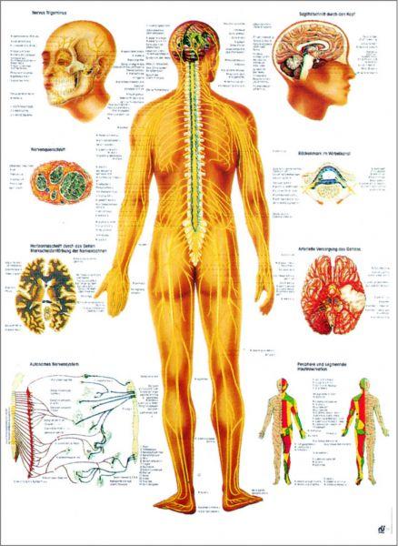 Nervensystem des Menschen laminiert