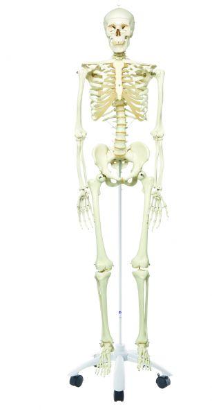"""Homo-Skelett """" Stan"""" - fahrbar"""